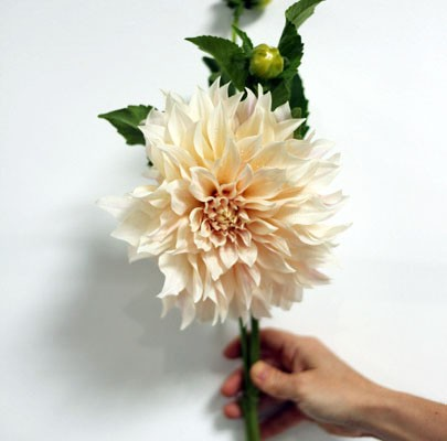 cafe au lait dahlia- poppies and posies