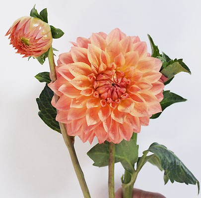 orange dahlia- Poppies and Posies