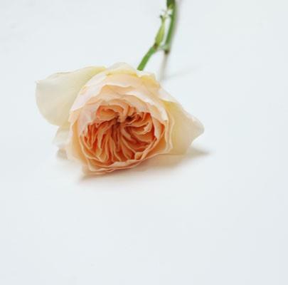 juliet garden rose-poppiesandposies