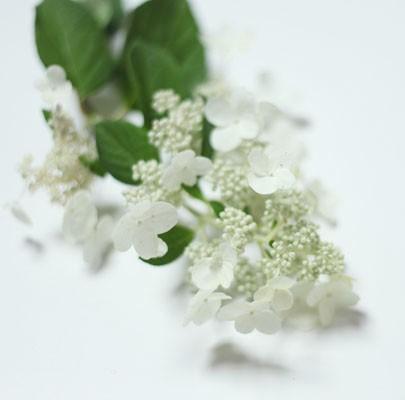 Lace Hydrangea, White
