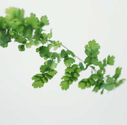 Maidenhair Fern-Poppies & Posies The Floral Society Flower Glossary