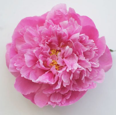 Pink Peony-Poppies & Posies The Floral Society Flower Glossary