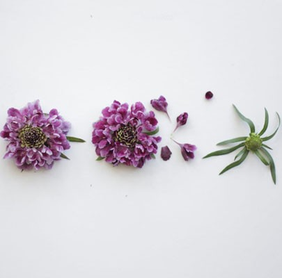 Purple Scabiosa-Poppies & Posies The Floral Society Flower Glossary