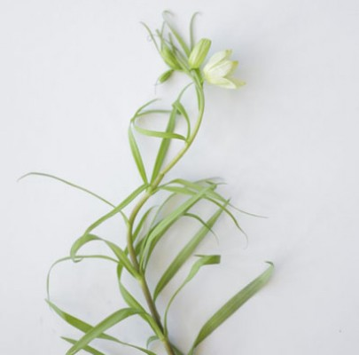 Green Frittalaria-The Floral Society Flower Glossary
