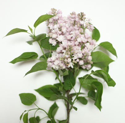 Lilac -The Floral Society Flower Glossary