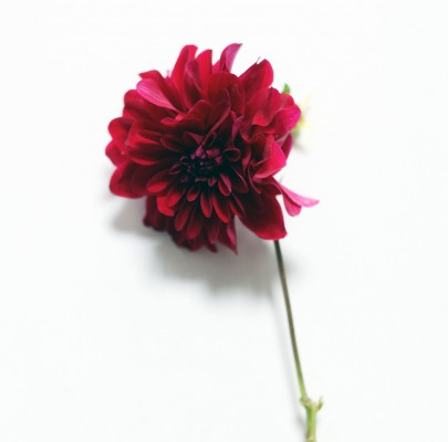 red dahlia-poppies and posies