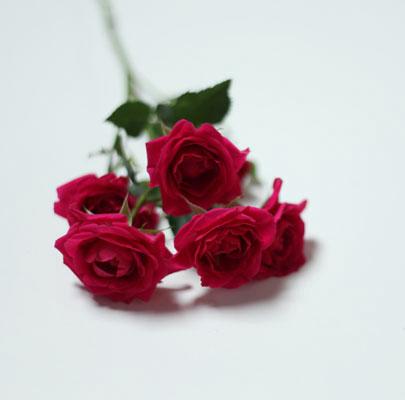 Spray Rose, Magenta
