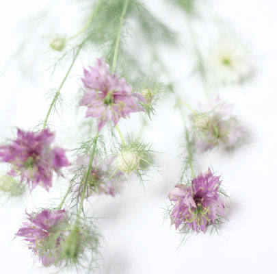 Pink Nigella-Poppies & Posies The Floral Society Flower Glossary