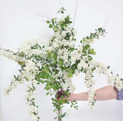 Spirea-Poppies & Posies The Floral Society Flower Glossary