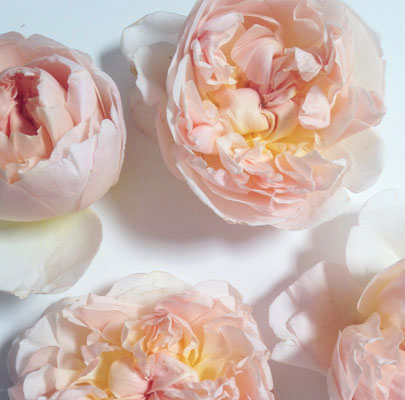 Sweet Juliette-Poppies & Posies The Floral Society Flower Glossary