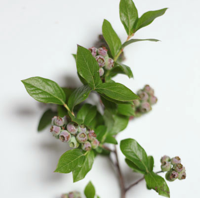 Unripened Blueberry-Poppies & Posies
