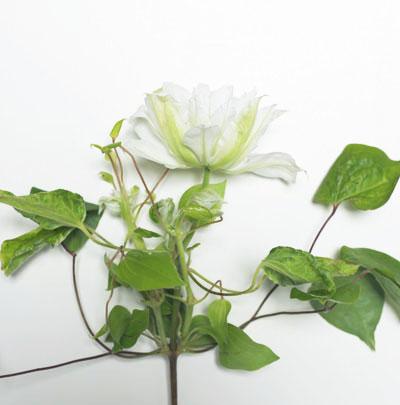 White Clematis-Poppies & Posies