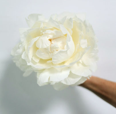 White Peony-Poppies & Posies The Floral Society Flower Glossary