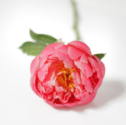 Coral Charm Peony-The Floral Society Flower Glossary