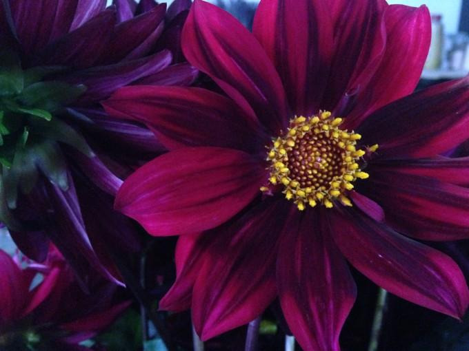 Dahlia-Poppies & Posies