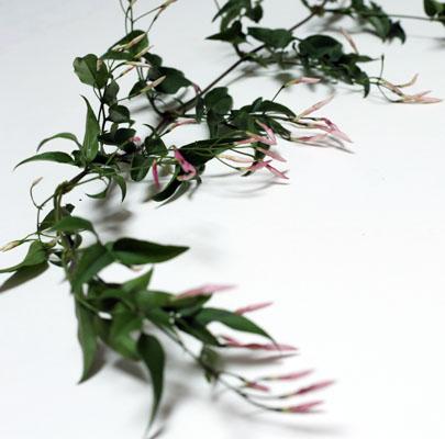jasmine-poppies and posies