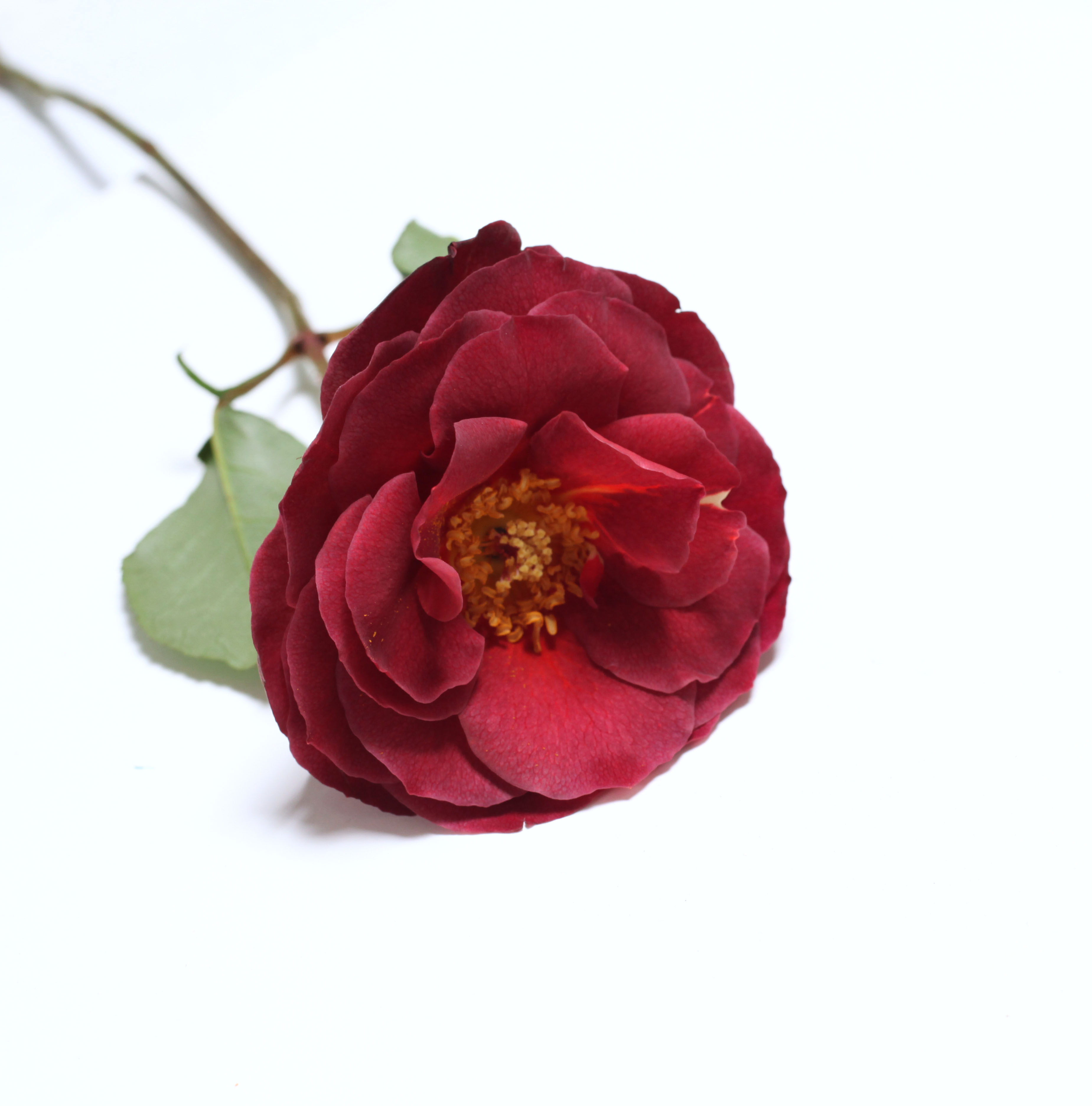 cinnamon spice rose-poppies and posies