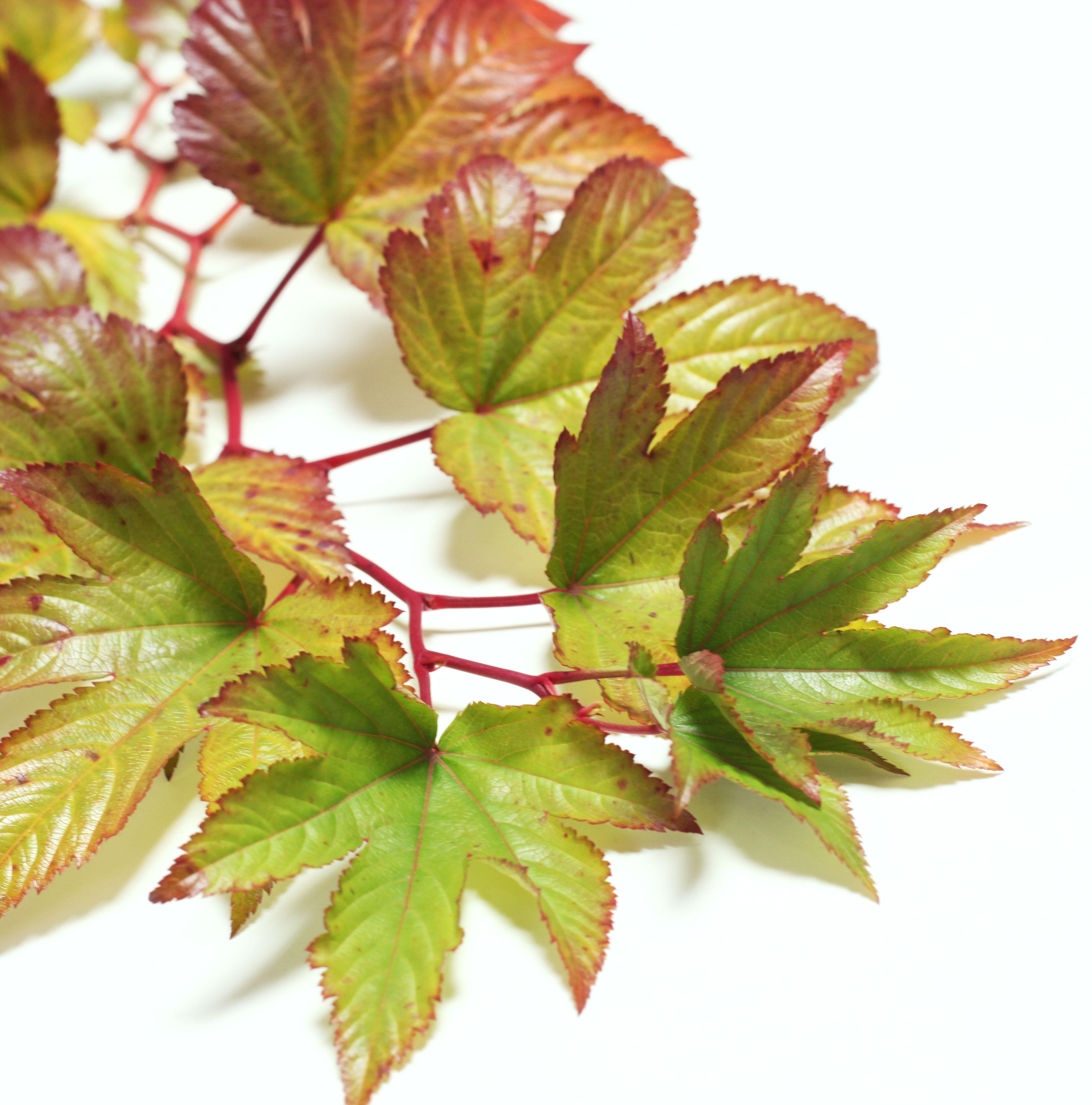 oak foliage-poppies and posies