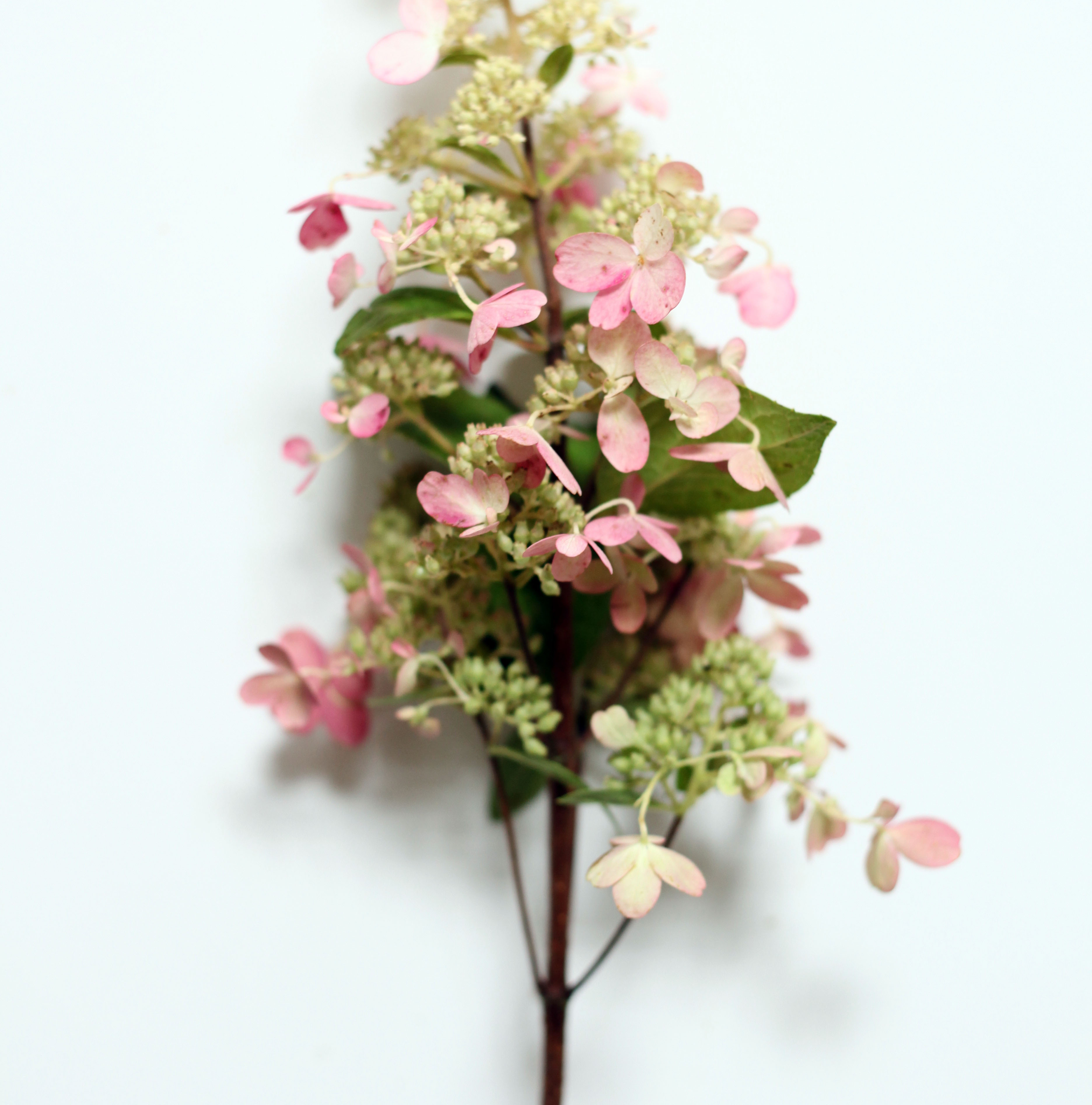 pink lace hydrangea-poppies and posies