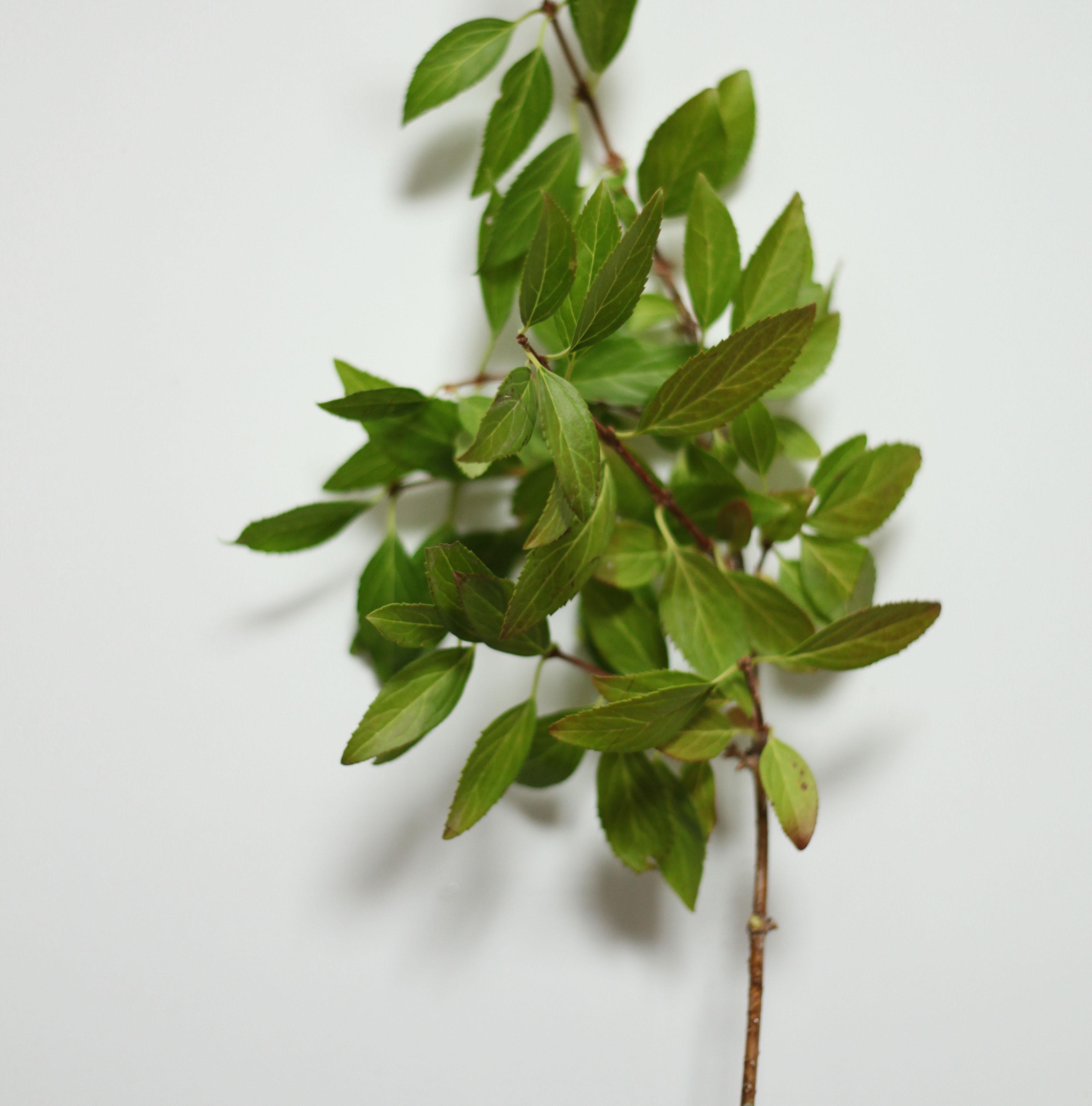 pistachio foliage-poppies and posies