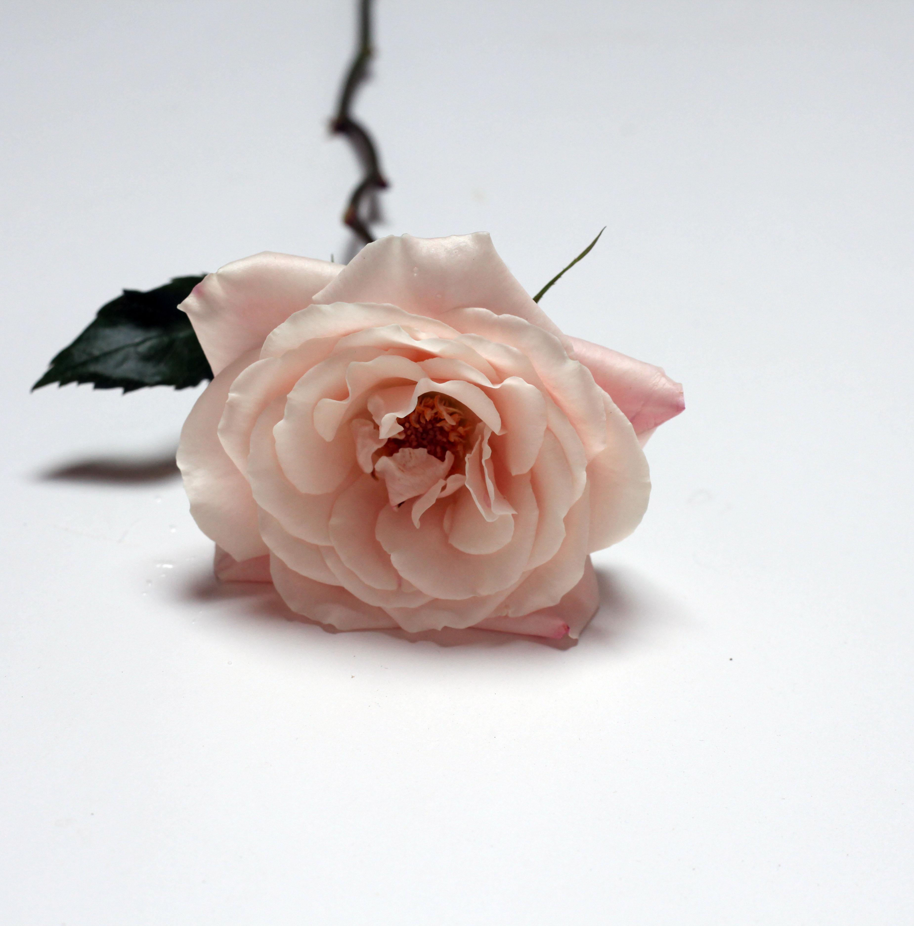 prince jardinier garden rose-poppies and posies
