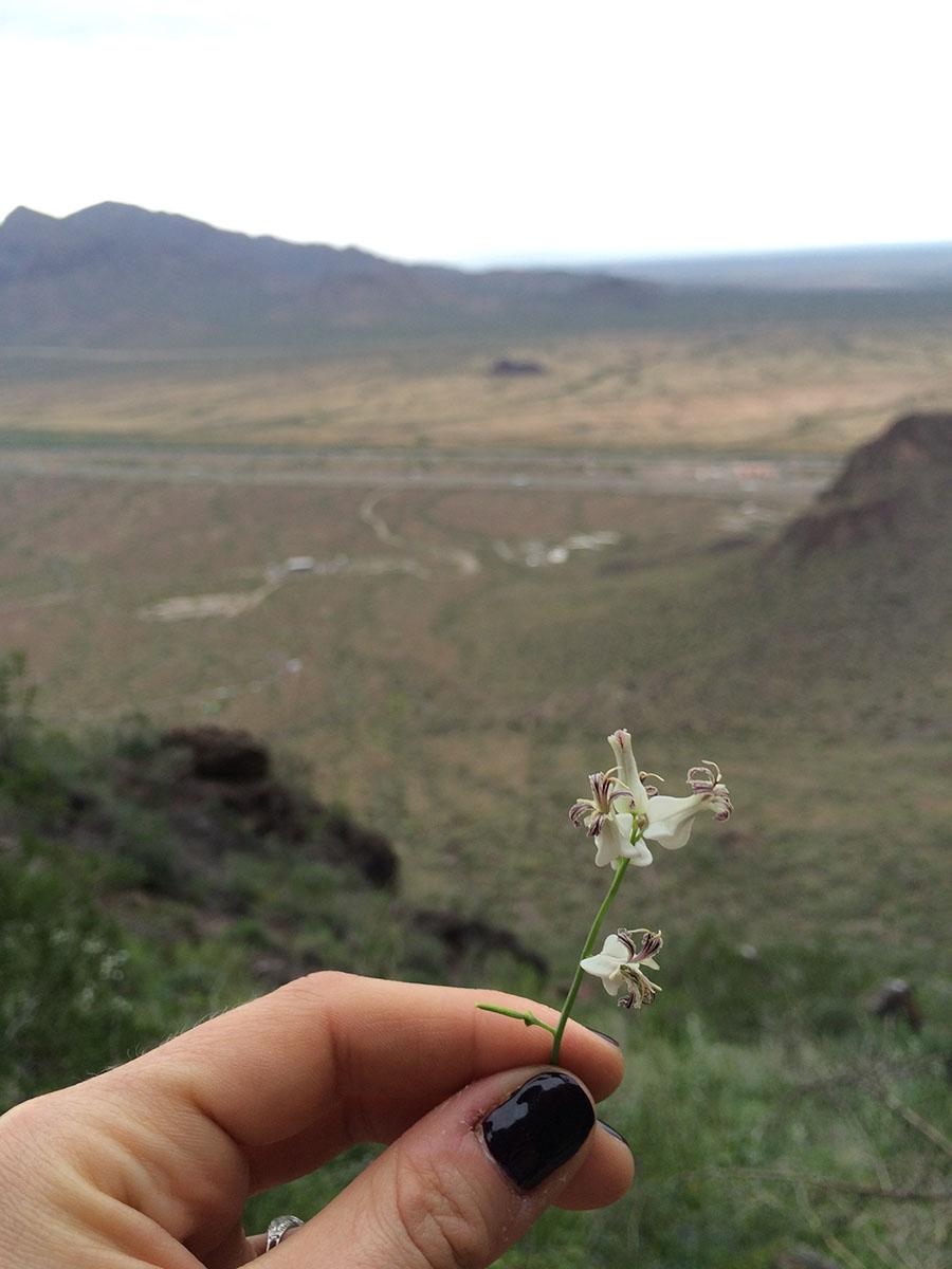 cactus, desert, arizona, tucson, desert flower